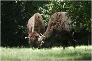 Bison on the nature trail. They like to eat and sleep!