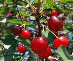 Fresh Door County Cherries
