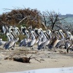 Crowds of young pelicans flock to the sand islands on the bayside of Hatteras Island