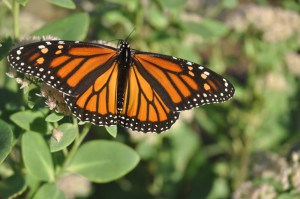 Monarch Butterfly at Wild Acres