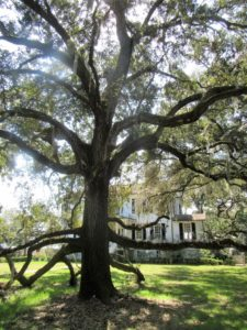 Trees trees with Spanish moss Beauforts